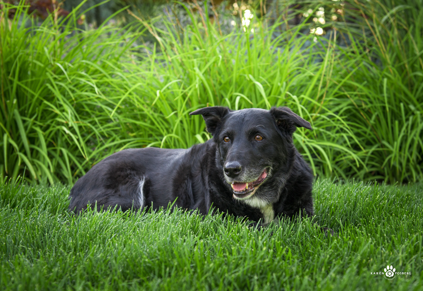 Black lab lying in lush green grass