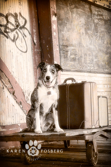 dogs-canine-photography-border collie-baggage cart