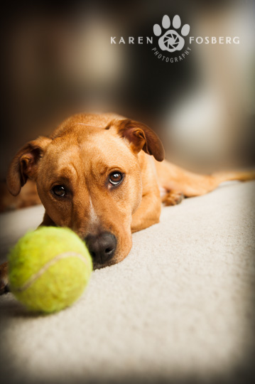 dogs-pet-photography-red dog with tennis ball