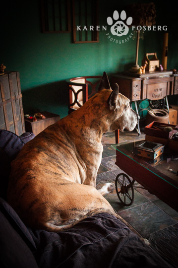 dogs-pet-photography-Great Dane-sitting-couch