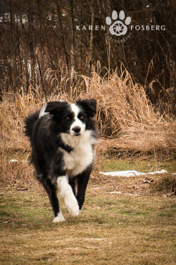 dogs-pet-photography-Border Collie-running-field