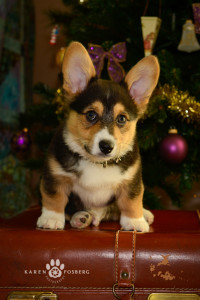 _DSC2745-Edit-corgi-cats-dogs-photography-fb-2013