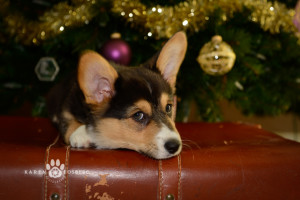 _DSC2756-corgi-cats-dogs-photography-fb-2013