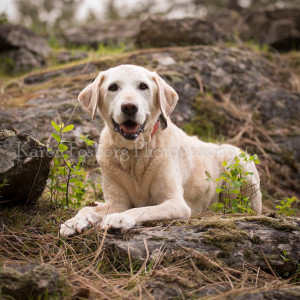 Yellow Labrador Retriever, on rocks, woods, trail, forest, lying down