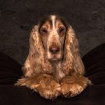 English Cocker Spaniel-home-headshot- with lights