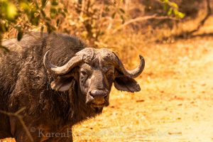 African Cape Buffalo on the road, stopped and staring at us