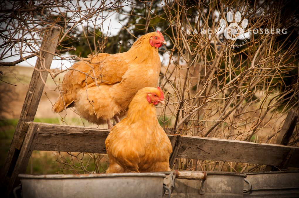 farm-chickens--photography-may2013