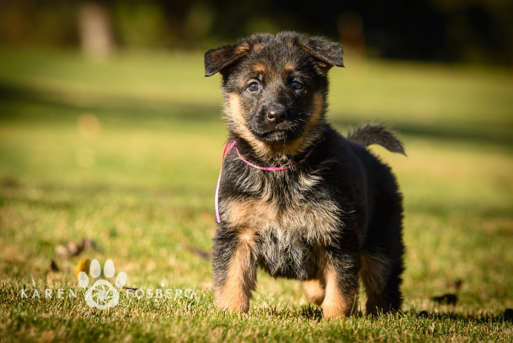 german-shepherd-puppies-dog-photography-11-2013-7