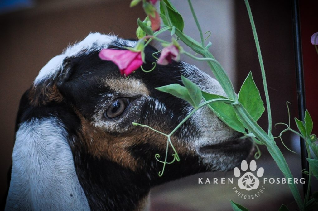 goat,-kid,-pet,-photography-5